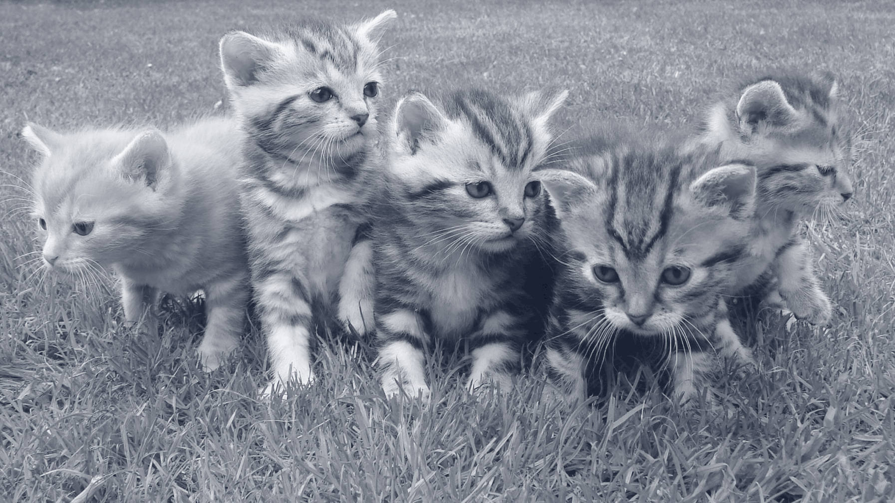kittens-gray